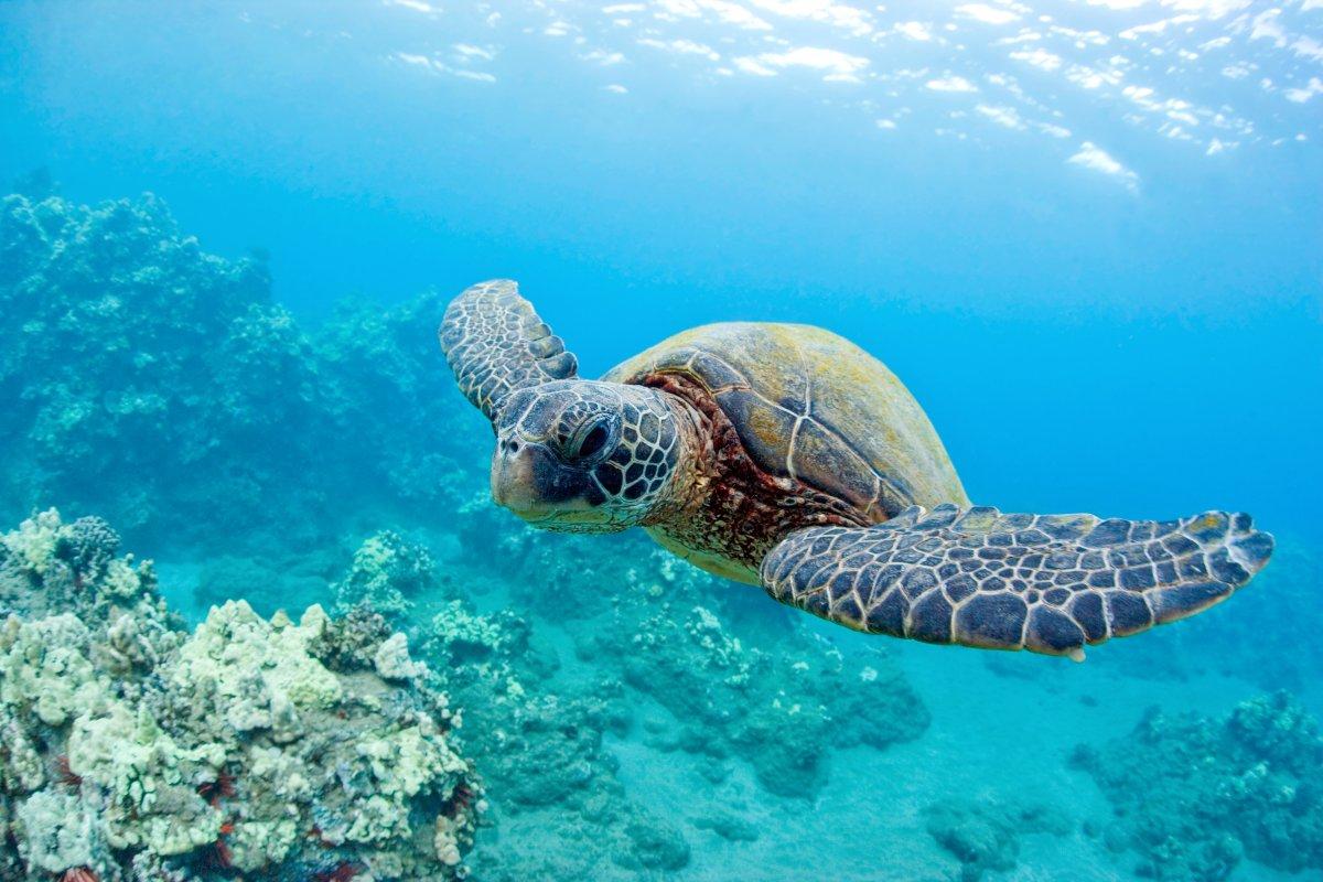Maui Turtle - Exotic Estates