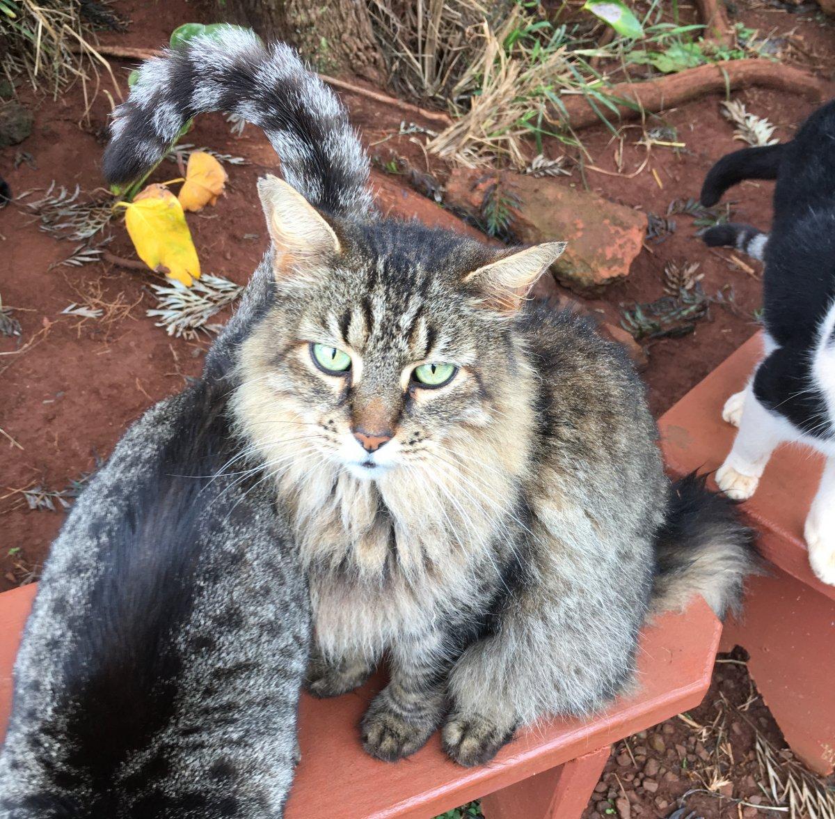 John Di Rienzo - Lanai Cat Santuary - Maine Coon