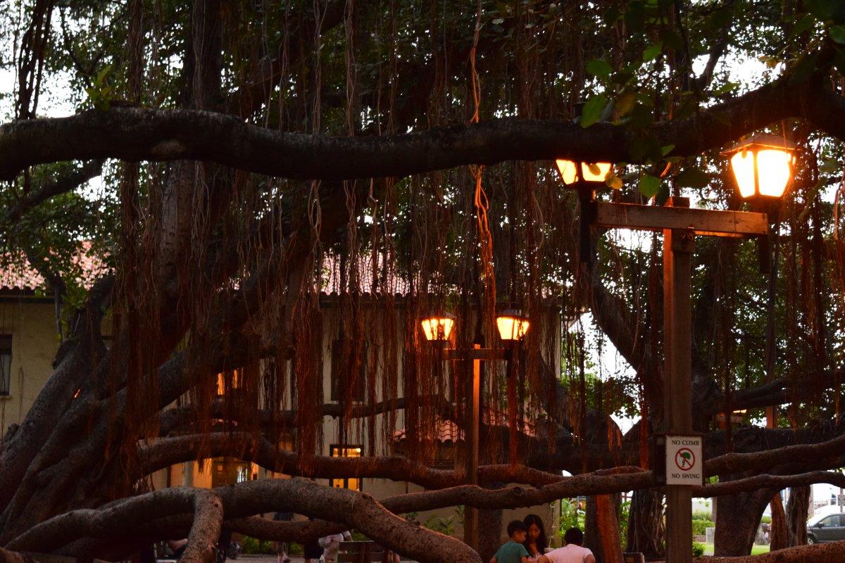 Lahaina Banyan Tree- John Di Rienzo