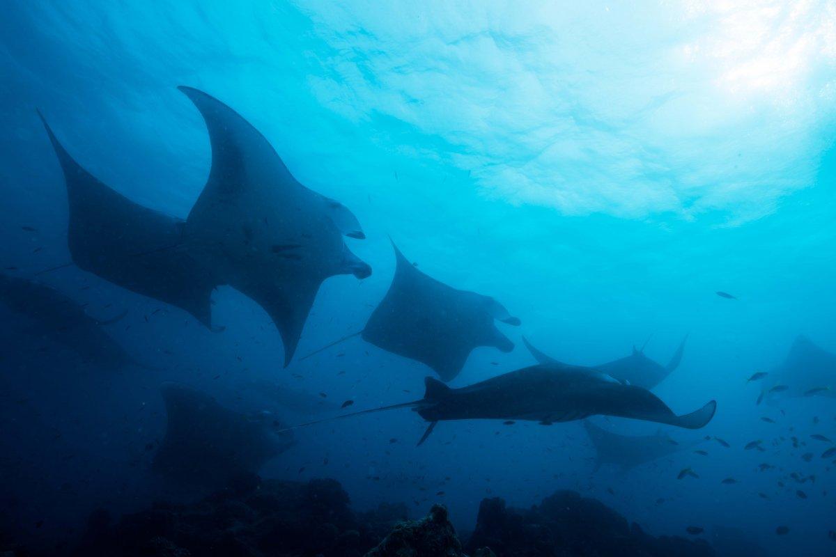 Manta Rays Hawaii