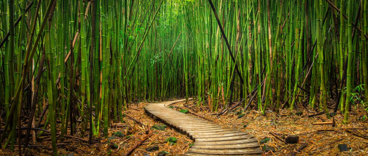 Bamboo Forrest along Hana Highway